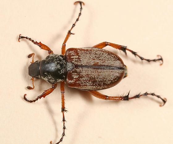 Scarab Beetle - Macrodactylus