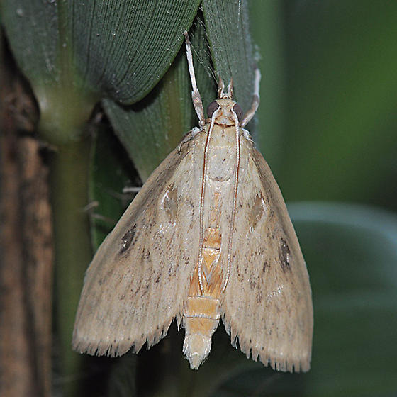 Crocidophora pustuliferalis
