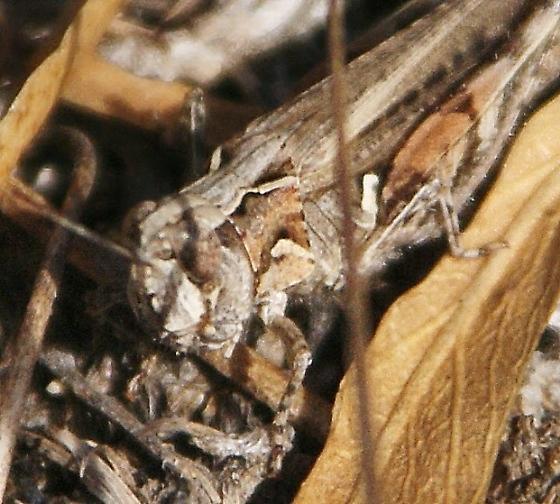 grasshopper, Texas Spotted Range ? - Psoloessa texana - female