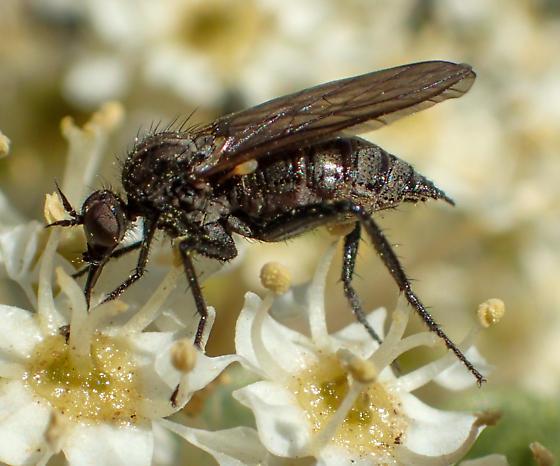 Rhamphomyia female? - Rhamphomyia - female