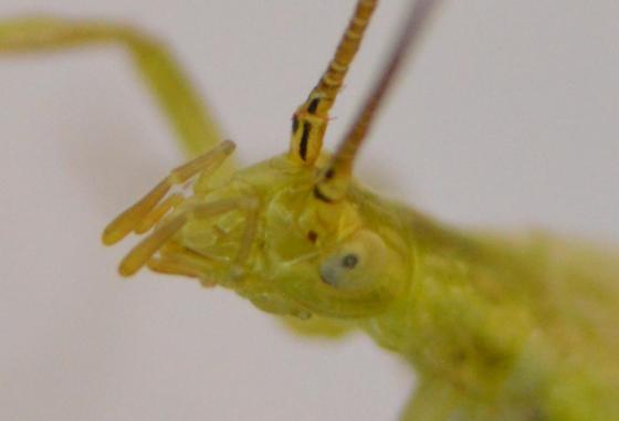 Tree Cricket - Oecanthus celerinictus - male