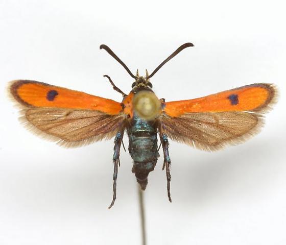 Calasesia coccinea (Beutenmüller) - Calasesia coccinea