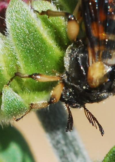 Meet Bizarro, a fly I guess - Ripiphorus rex - female