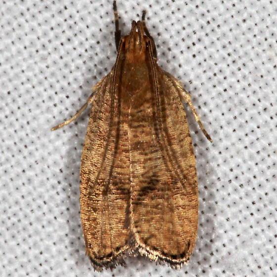Black-fringed Leaftier Moth - Psilocorsis cryptolechiella