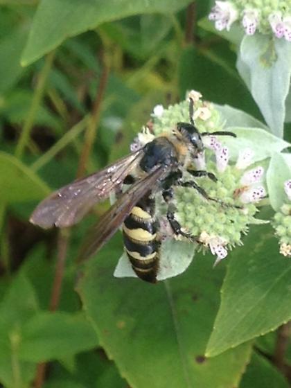 Wasp 3 - Dielis plumipes - female