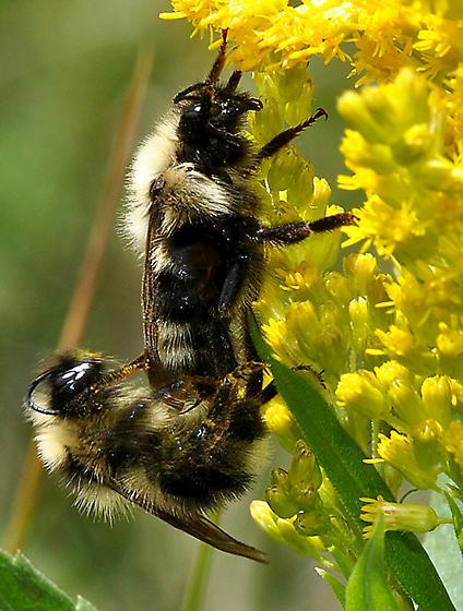 Bombus queen & male on Goldenrod - Bombus fernaldae - male - female