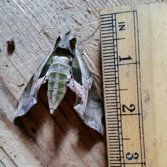 Is this a Sphynx Moth? - Eumorpha pandorus
