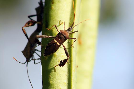 Acanthocephala ID request - Leptoglossus phyllopus