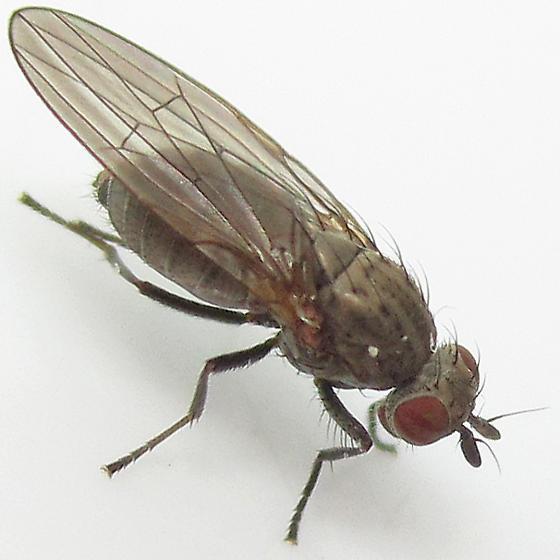 Sapromyza brachysoma - female