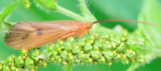 Northern Caddisflies Genus Pycnopsyche - Pycnopsyche