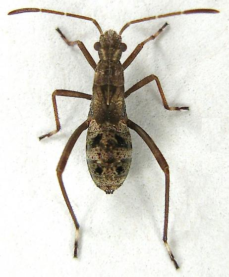 Broad-headed Bug Nymph - Tollius