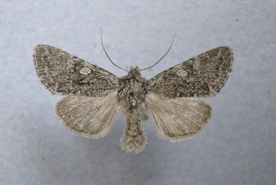 10352 - Lasionycta perplexa