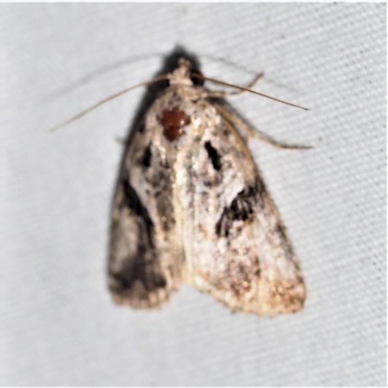 Diastema n-sp - Diastema n. sp. near morata - Hodges#9068.97 - Diastema n-sp - male
