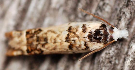 tortricid moth - Eucosma ornatula