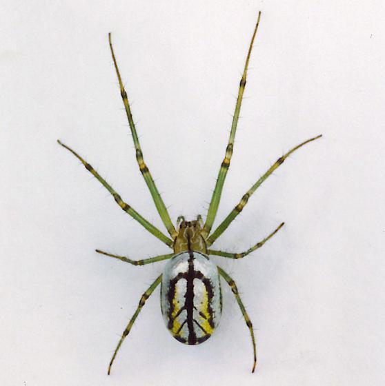 Orchard Spider - Leucauge venusta - female