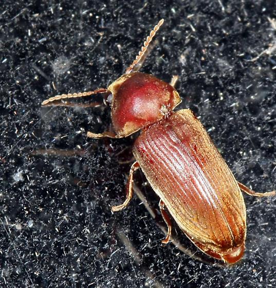 beetle - Euvrilletta peltata