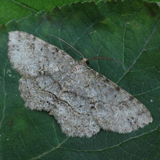 A Geometrid Moth - Melanolophia canadaria - male