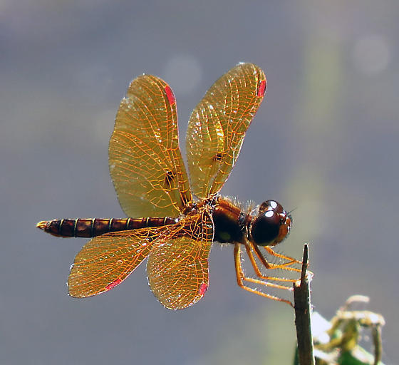 Orange dragonfly - Perithemis tenera