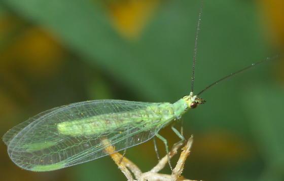 Green Lacewing - Eremochrysa