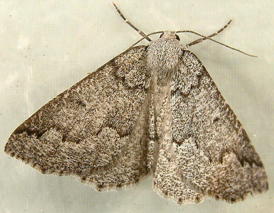 2014 Enypia packardata - Packard's Girdle Moth 7007 - Enypia packardata