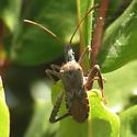 leaf-footed bug - Narnia