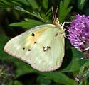 Sulphur..? - Colias eurytheme - female