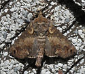 Molded clay appearing moth - Paectes abrostoloides