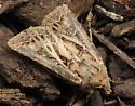 Spodoptera sp? - Agrotis gladiaria