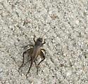 Cricket - Allonemobius allardi - female