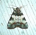 Connubial Underwing Moth - Catocala connubialis