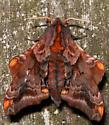 small-eyed sphinx - Paonias myops