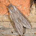 Great Ash Sphinx Moth - Sphinx chersis