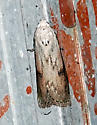 Aphomia sociella -Bee Moth - Aphomia sociella - male
