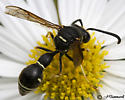 Potter Wasp? - Eumenes