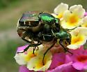 Mating Flower Scarabs - Trichiotinus lunulatus - male - female