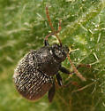 horse-nettle flea beetle - Epitrix fuscula