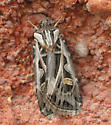 Moth - Feltia jaculifera