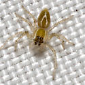 Lynx Spider - Oxyopes salticus
