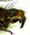 Sarcophaga (Bulbostyla) cadyi - Sarcophaga cadyi - male