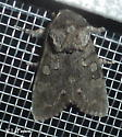 A Roland's Sallow Moth    (Psaphida rolandi)   Hodges #10014 - Psaphida rolandi
