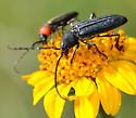Black longhorn with Mannophorus laetus on Viguiera stenoloba - Mannophorus laetus