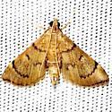 moth - Salbia tytiusalis