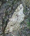 Patterned Moth on Oak Tree #2 - Melanolophia