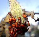 Milkweed Bug (immature?) - Oncopeltus fasciatus