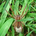 Rabidosa  - Rabidosa rabida - female