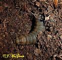Abbott's Sphinx Moth Caterpillar 5 2005 - Sphecodina abbottii