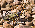 Grasshopper ID - Taeniopoda eques - male