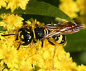 Bee Wolf - Philanthus gibbosus