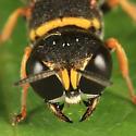 wasp - Ectemnius scaber