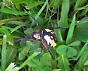 bug - Argiope aurantia